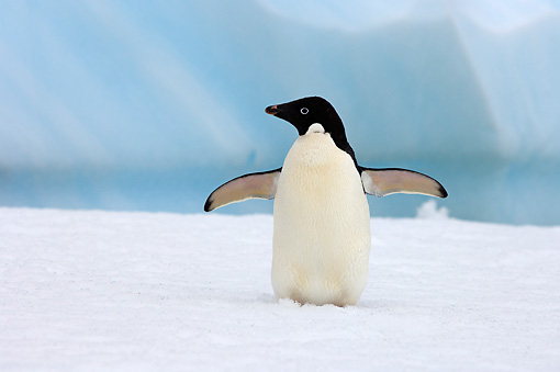 BRD 05 SK0075 01 © Kimball Stock Adelie Penguin Flapping On Sea Ice Antarctica