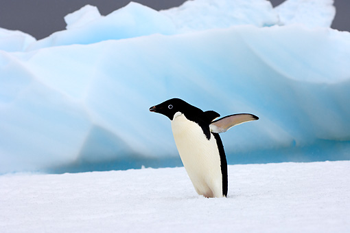 BRD 05 SK0076 01 © Kimball Stock Adelie Penguin Flapping On Sea Ice Antarctica