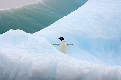 BRD 05 SK0079 01 © Kimball Stock Adelie Penguin Standing On Sea Ice Antarctica