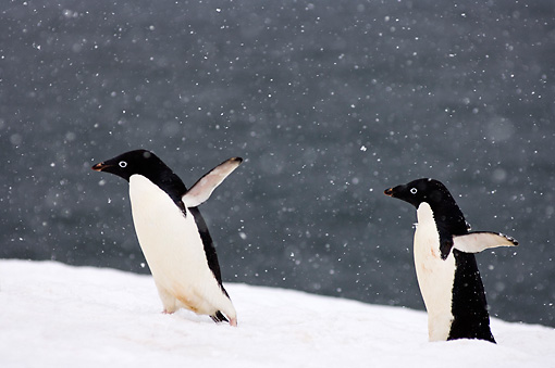 BRD 05 SK0083 01 © Kimball Stock Adelie Penguins Waddling On Snow Antarctica