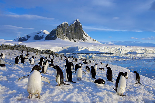 BRD 05 SK0085 01 © Kimball Stock Adelie Penguin Colony Congregating On Snow Antarctica