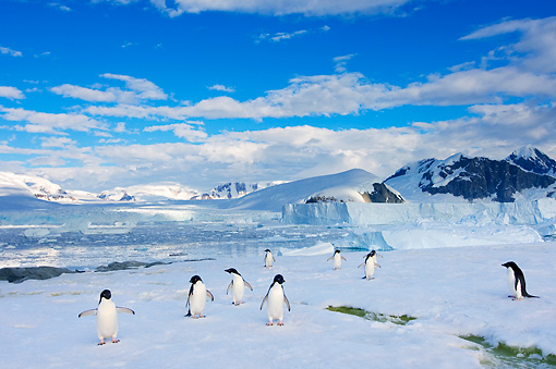 BRD 05 SK0086 01 © Kimball Stock Adelie Penguins By Mountain Antarctica