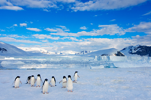 BRD 05 SK0087 01 © Kimball Stock Adelie Penguins By Mountain Antarctica