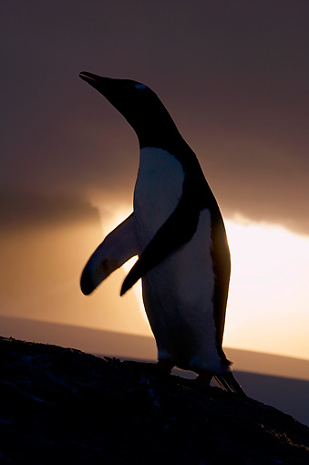 BRD 05 SK0090 01 © Kimball Stock Silhouette Of Gentoo Penguin Standing On Rock Antarctica