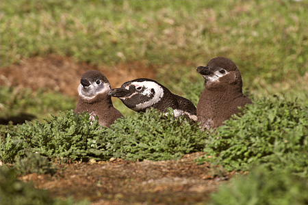 BRD 05 SM0013 01 © Kimball Stock Magellanic Penguin With Two Chicks At Burrow