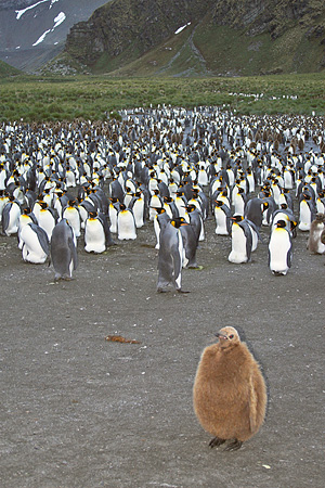 BRD 05 SM0017 01 © Kimball Stock King Penguin Chick At Edge Of Colony