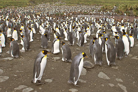 BRD 05 SM0018 01 © Kimball Stock King Penguin Colony With Males Booring Eggs