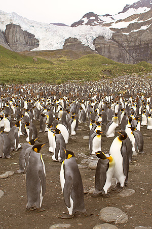 BRD 05 SM0019 01 © Kimball Stock King Penguin Colony Males Have Eggs On Feet