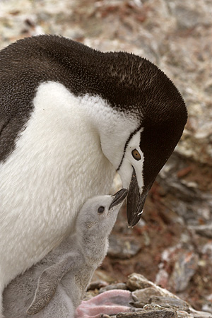 BRD 05 SM0029 01 © Kimball Stock Chinstrap Penguin With Chick