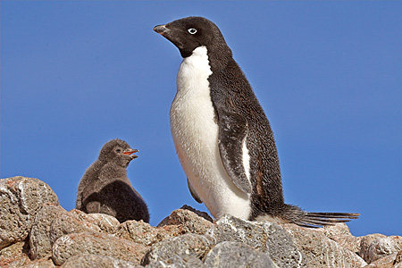 BRD 05 SM0034 01 © Kimball Stock Adelie Penguin With Chick