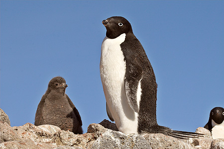 BRD 05 SM0036 01 © Kimball Stock Adelie Penguin With Chick