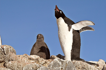 BRD 05 SM0037 01 © Kimball Stock Adelie Penguin With Chick