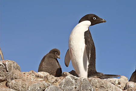 BRD 05 SM0038 01 © Kimball Stock Adelie Penguin With Chick