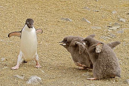 BRD 05 SM0049 01 © Kimball Stock Adelie Penguin Being Pursued By Two Hungry Chicks