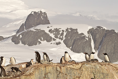 BRD 05 SM0054 01 © Kimball Stock Gentoo Penguins Nesting On Rocks By Mountains Antarctica