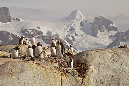 BRD 05 SM0055 01 © Kimball Stock Gentoo Penguins Nesting On Rocks By Mountains Antarctica