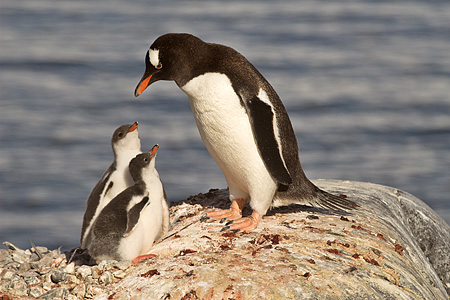 BRD 05 SM0057 01 © Kimball Stock Gentoo Penguin Mother With Chicks