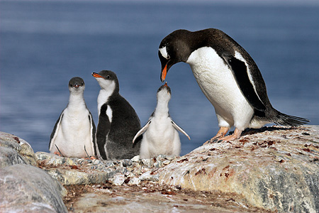 BRD 05 SM0063 01 © Kimball Stock Gentoo Penguin Mother Feeding Chick