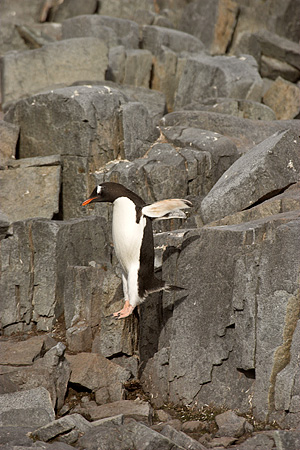 BRD 05 SM0067 01 © Kimball Stock Gentoo Penguin Taking A Leap Off Rocks