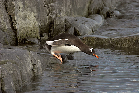 BRD 05 SM0068 01 © Kimball Stock Gentoo Penguin Diving Into Sea