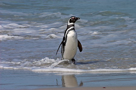 BRD 05 SM0074 01 © Kimball Stock Magellanic Penguin Coming From Sea After Feeding