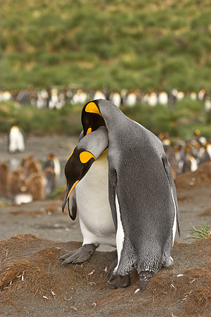 BRD 05 SM0081 01 © Kimball Stock King Penguin Pair Nuzzling