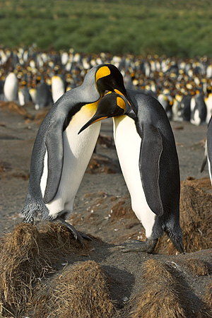 BRD 05 SM0082 01 © Kimball Stock King Penguin Pair Nuzzling