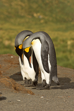 BRD 05 SM0085 01 © Kimball Stock King Penguin Pair In Courtship Display