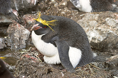 BRD 05 SM0088 01 © Kimball Stock Macaroni Penguin Sitting On Nest With Chick