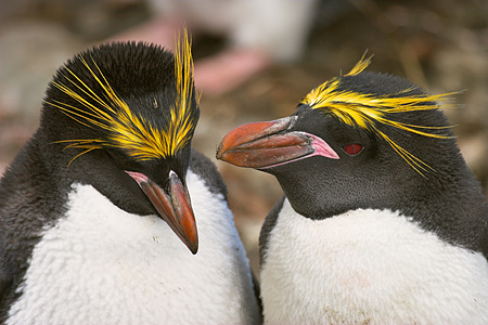 BRD 05 SM0089 01 © Kimball Stock Macaroni Penguin Courting