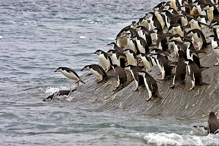 BRD 05 SM0092 01 © Kimball Stock Chinstrap Penguins Diving Into Sea To Feed