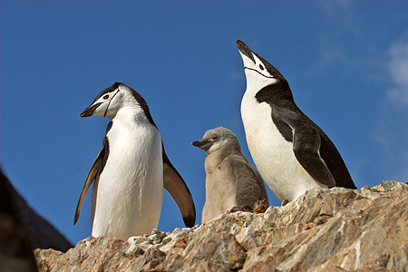 BRD 05 SM0097 01 © Kimball Stock Chinstrap Penguin Pair At Rock Nest With Chick