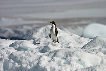 BRD 05 SM0101 01 © Kimball Stock Lonely Adelie Penguin On Pack Ice