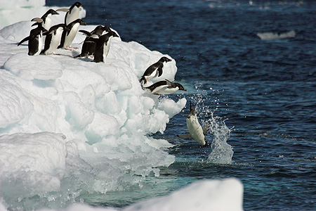 BRD 05 SM0103 01 © Kimball Stock Adelie Penguins Jumping Into Water From Pack Ice