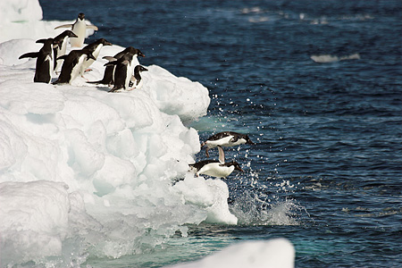 BRD 05 SM0104 01 © Kimball Stock Adelie Penguins Diving Off Ice Pack