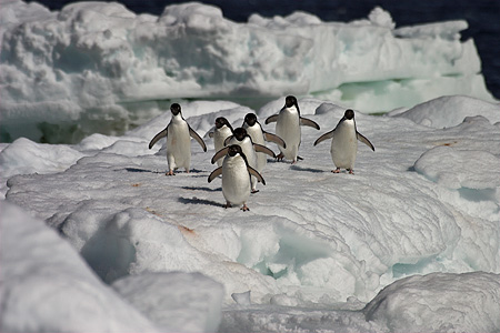 BRD 05 SM0105 01 © Kimball Stock Adelie Penguins Marching Across Pack Ice