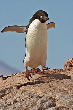 BRD 05 SM0107 01 © Kimball Stock Adelie Penguin Jumping From Rock To Rock