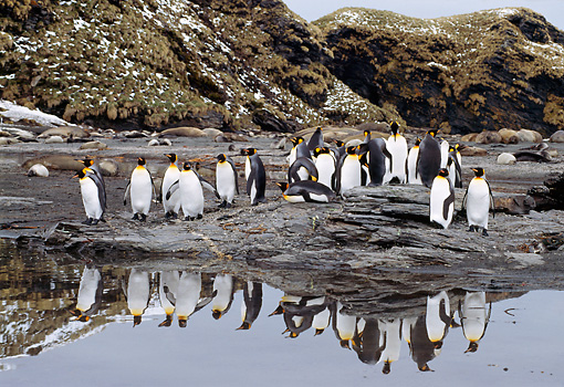 BRD 05 TL0002 01 © Kimball Stock Colony Of King Penguins Standing On Rocky Shore With Snow Water Cliffs