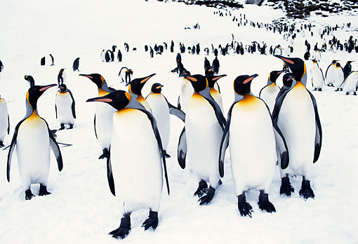 BRD 05 TL0003 01 © Kimball Stock Colony Of King Penguins Standing On Snow