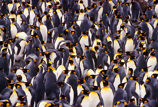 BRD 05 TL0004 01 © Kimball Stock Colony Of King Penguins On South Georgia Island