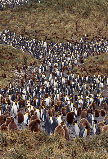 BRD 05 TL0005 01 © Kimball Stock Colony Of King Penguin Adults And Chicks On Hill On South Georgia Island