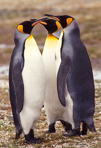 BRD 05 TL0008 01 © Kimball Stock Three King Penguins Huddling On South Georgia Island