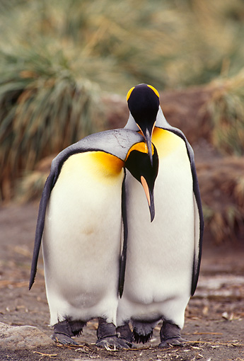 BRD 05 TL0011 01 © Kimball Stock Two King Penguins Courting On South Georgia Island