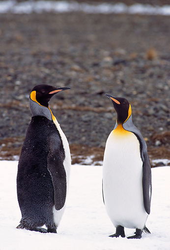 BRD 05 TL0012 01 © Kimball Stock Two King Penguins Standing On Snow On South Georgia Island
