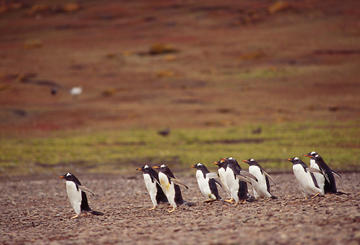 BRD 05 TL0015 01 © Kimball Stock Group Of Gentoo Penguins Walking On Beach In Falkland Islands