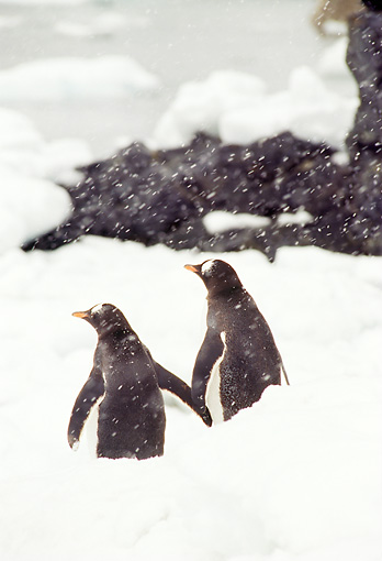 BRD 05 TL0017 01 © Kimball Stock Two Gentoo Penguins In Snow Facing Away From Camera In Antarctica