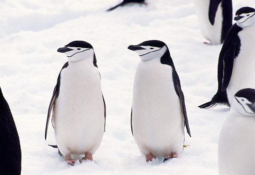 BRD 05 TL0020 01 © Kimball Stock Chinstrap Penguins Standing On Snow In Antarctica