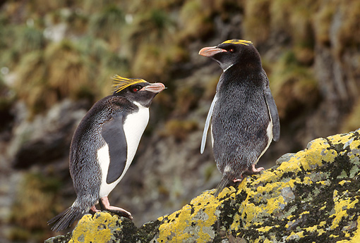 BRD 05 TL0021 01 © Kimball Stock Two Macaroni Penguins Standing On Lichen-Covered Rock