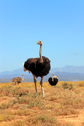 BRD 06 AC0003 01 © Kimball Stock South African Ostriches Walking In South Africa