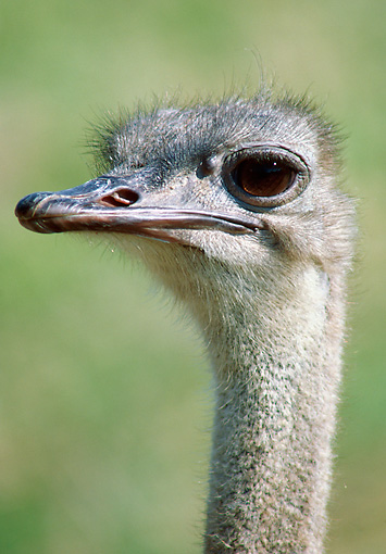 BRD 06 GR0001 01 © Kimball Stock Head Shot Of Ostrich